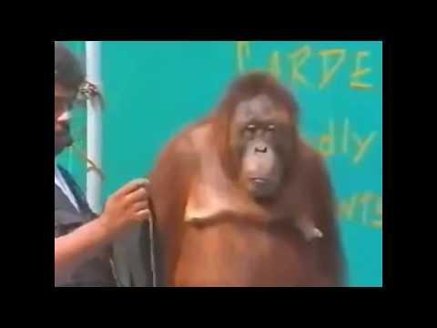 Video Monyet Lucu Bikin Sakit Perut...hahaha