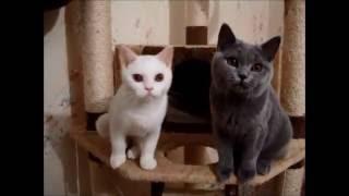 18 07 16  Британские котята, белый мальчик и голубая девочка  ПРОДАЖА