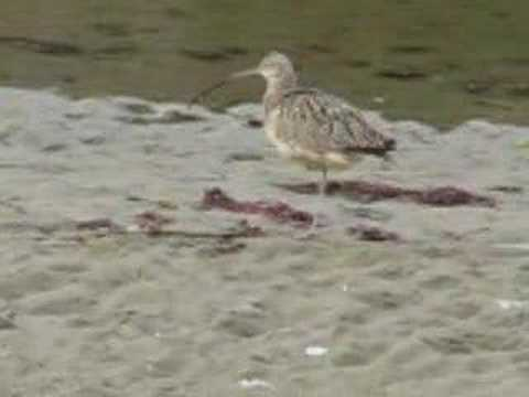 Call of the long billed curlew