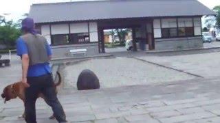 土佐犬チャ太郎娘とお散歩.