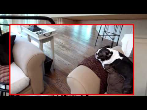 Boston Terrier planking across couch set to 2001 Space Odyssey