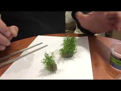 Обзор Аквариумное растение Людвигия Аркуата (Ludwigia Arcuata) в питательном геле