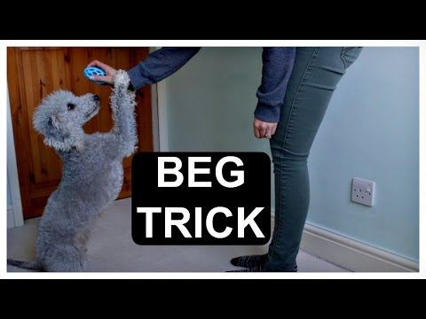 How to train your dog to beg – great trick