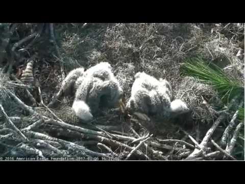 NEFL Juliet feeds eaglets shiny fat fish 1/6/17