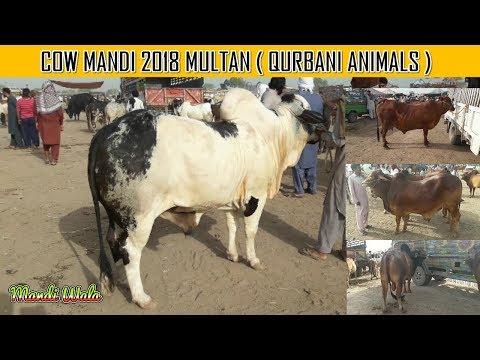 116 | Cow mandi 2018/2019 | Multan Mandi | High Rate Demands