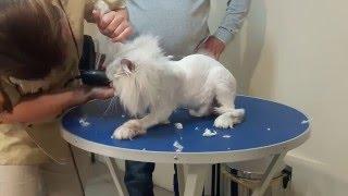 Стрижка кошек в Одессе без наркоза смотрите сами