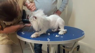 Стрижка кошек в Одессе без наркоза смотрите сами(, 2016-05-09T19:59:43.000Z)