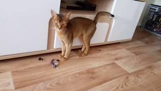 Не трожь мое! Жизнь абиссинской кошки.. Don't touch my! The life of Abyssinian.