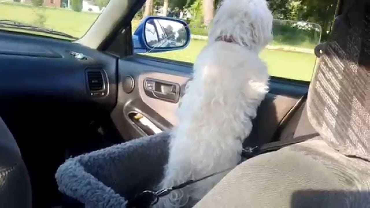maltese dog riding in devoted doggy deluxe pet booster seat for car youtube. Black Bedroom Furniture Sets. Home Design Ideas