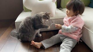 娘が持つ物に夢中になる猫 ノルウェージャンフォレストキャットA cat that is crazy about what daughter has. Norwegian Forest Cat.