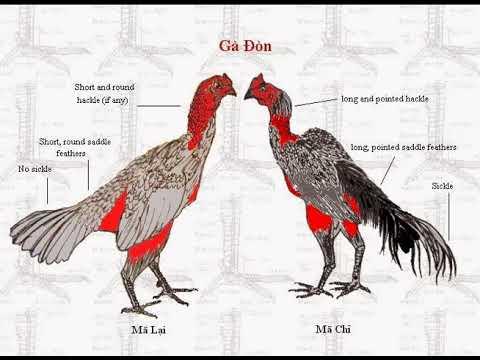 Cách chọn gà chọi hay, Gà chọi quý , thần kê – Gà dòng Việt nam