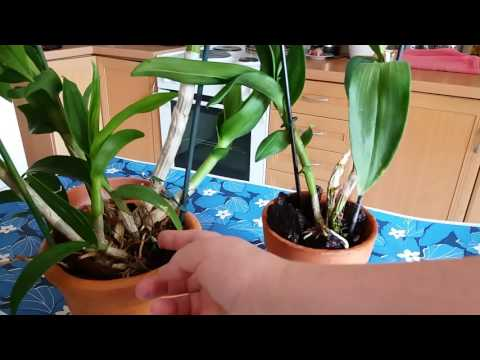Орхидея Дендрофаленопсис. Уход.