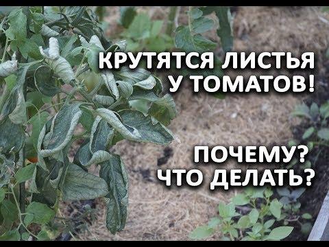 Крутятся листья у томатов!!! Почему? И что делать?   скрученные   помидорах   крутятся   томатах   скруче   листья   делать   когда   что   на