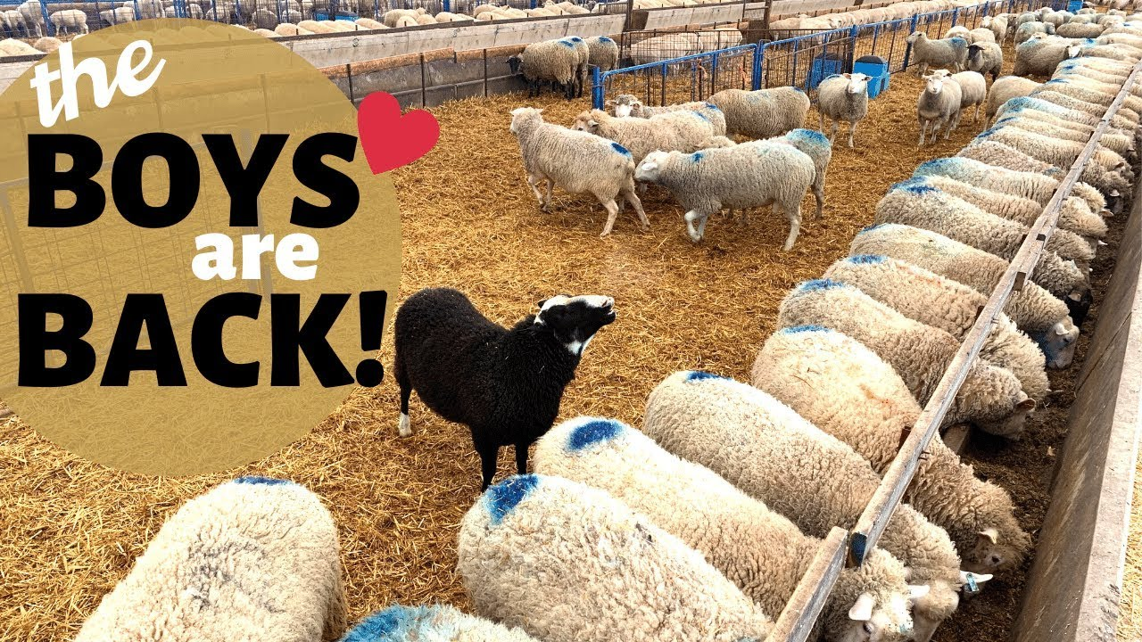 Download How We Breed Our Sheep In-Season (NATURALLY): Vlog 177