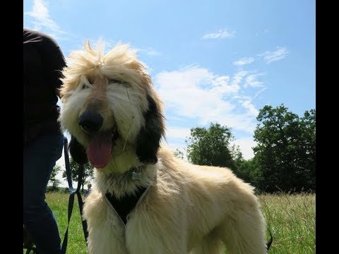 Fergie - 8 Month Old Afghan Hound - 4 Weeks Residential Dog Training