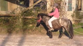 rodéo d'un poney Welsh a cru en licol