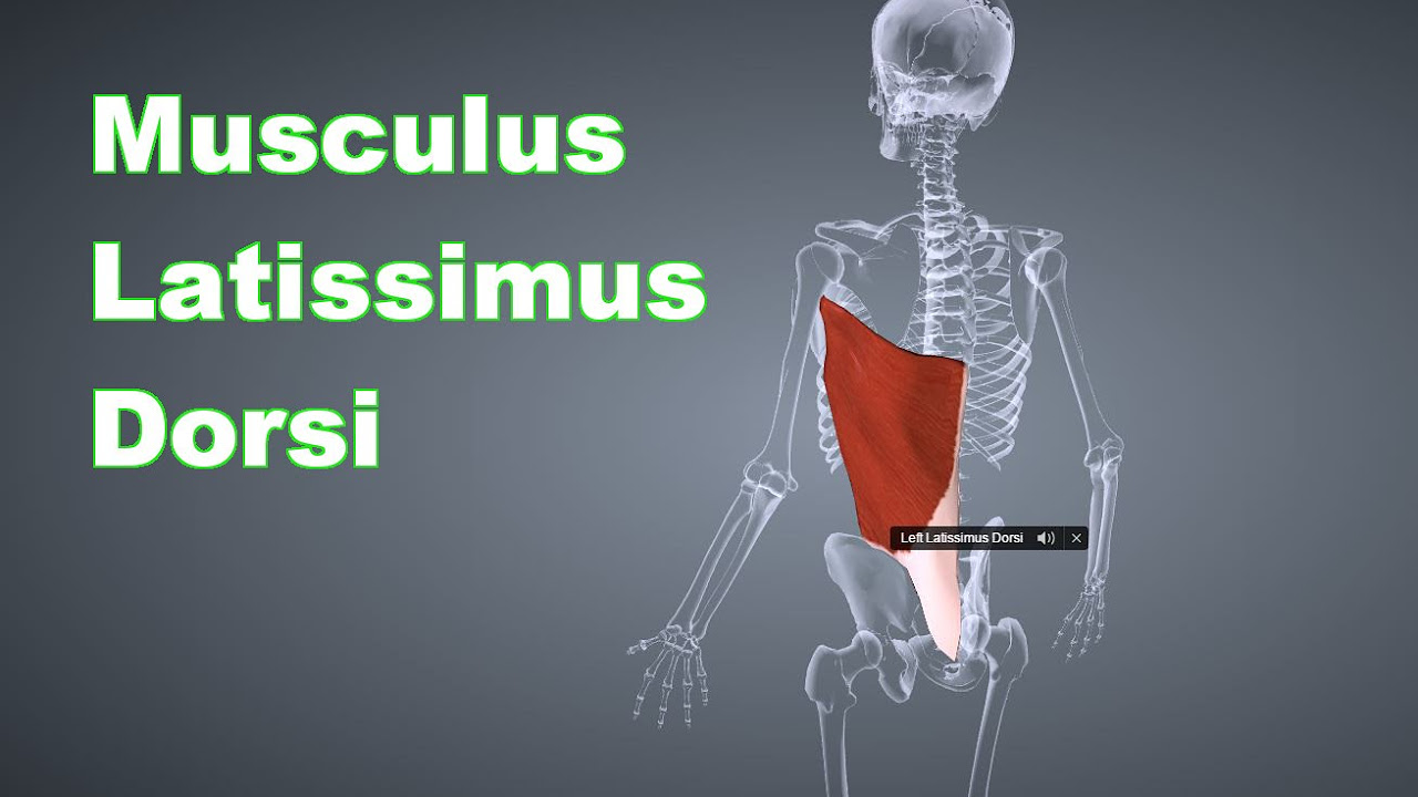 M. Latissimus Dorsi Breiter Rückenmuskel: Ansatz, Ursprung, Funktion, Dehnungsübung B-Lizenz Prüfung