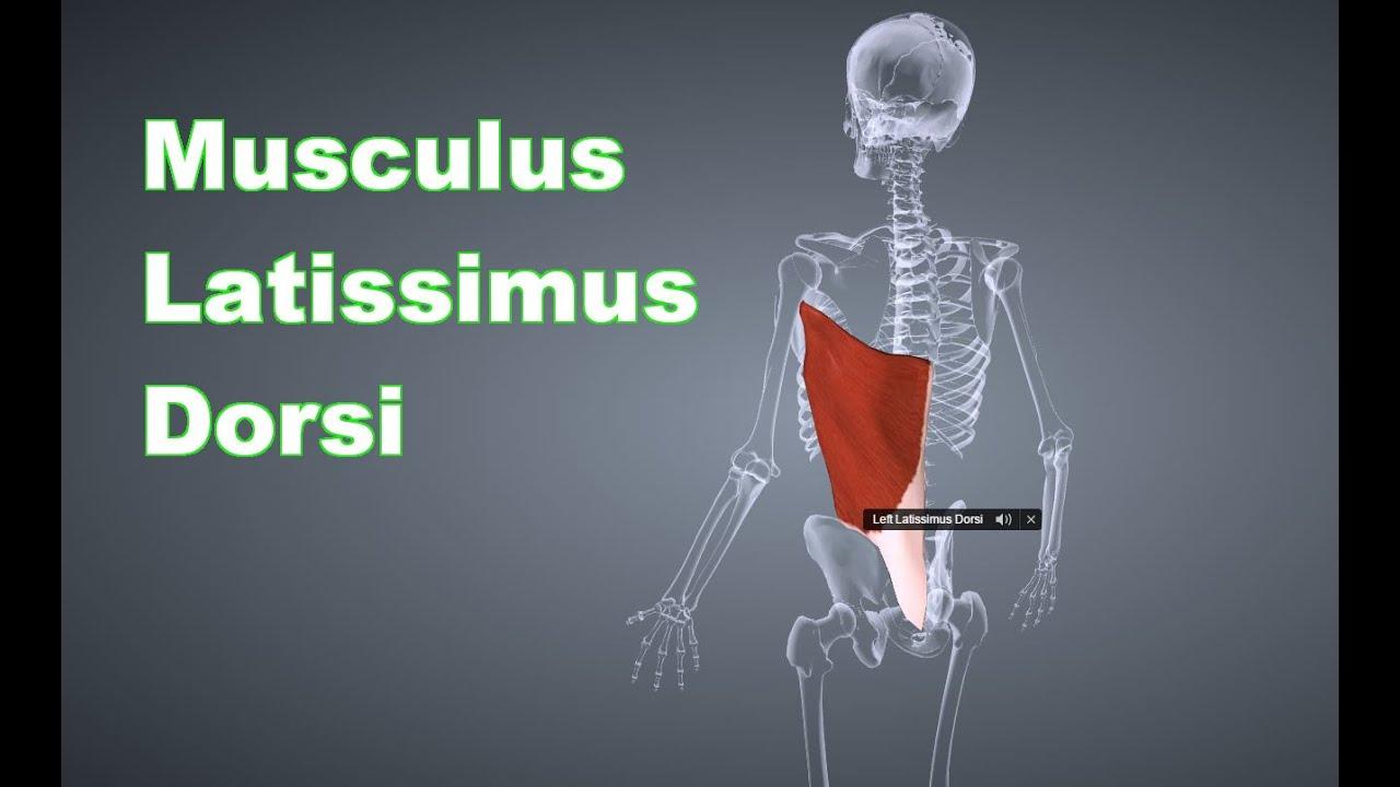 M. Latissimus Dorsi Breiter Rückenmuskel: Ansatz, Ursprung, Funktion ...