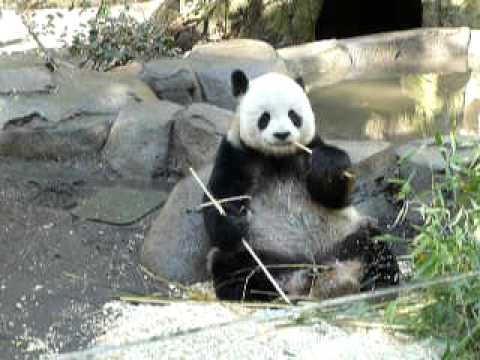 baby panda eating bamboo youtube