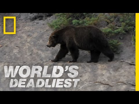 Grizzly Hunts With Nose | World's Deadliest