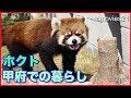 どんぐり見つけたレッサーパンダ ホクト 遊亀公園附属動物園 Red Panda