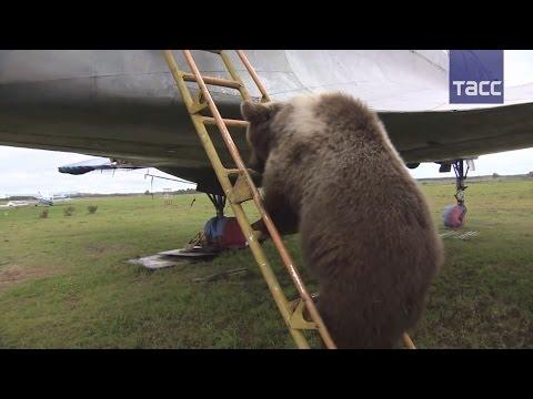 видео: На аэродроме в Тверской области поселился медведь