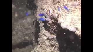 © Рыбы Черного моря. Мальки морской ласточки хромис (Chromis chromis) - 02 //