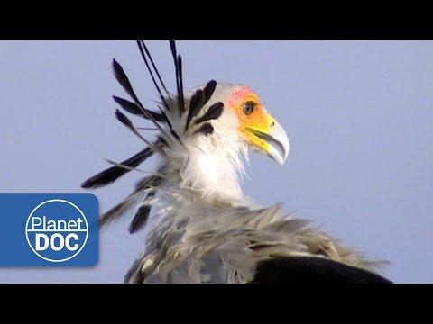 Secretary Birds of Africa | Nature