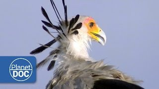 Download Video Secretary Birds of Africa | Nature MP3 3GP MP4