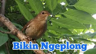 Bikin Ngeplong, Semua Burung Kicau Terpancing Sama masteran burung flamboyan ini