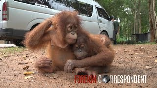 Saving Baby Orangutans From Smuggling | Foreign Correspondent