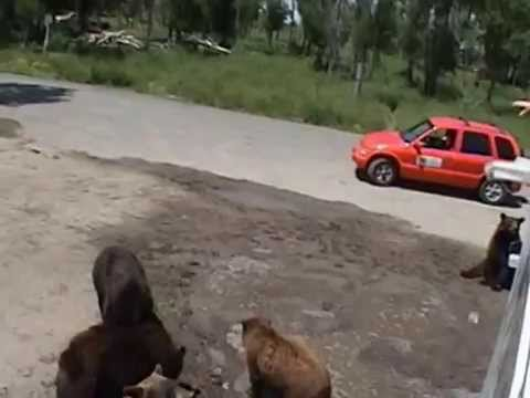 Yellowstone Bear World #3