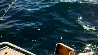 Cook Strait groper (puka) fishing spot X (Wellington, New Zealand)