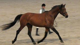 ГАННОВЕРСКАЯ порода лошадей - спортивная и верховая #ИППОсфера 2019 конная выставка. Ганновер лошадь