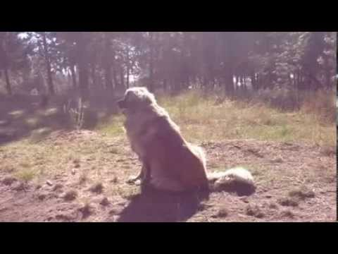 Leonberger sneak attack 2013! - YouTube Leonberger Attack