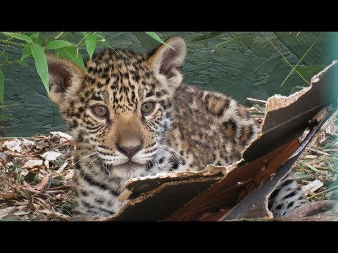 Paradise Wildlife Park Trip - (July 2017) - JAGUAR CUB