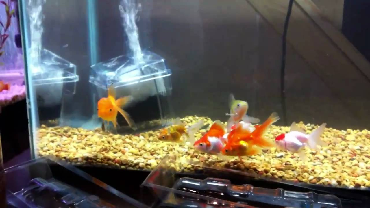 Crystal clear fancy goldfish 10g tank youtube for Fancy fish tanks