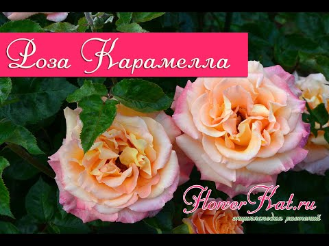 Роза Карамелла / Caramella (осень)