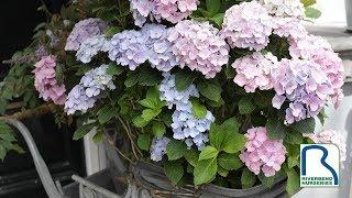Fresh-cut Hydrangea Tips