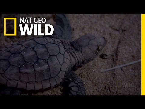 Baby Turtle Swimming Frenzy | Nat Geo Wild