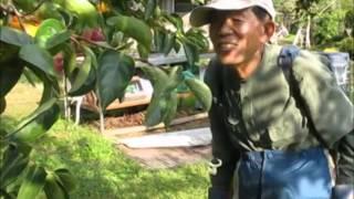 山梨 枯露柿専門Isamudefarm 甲州百目柿の木の消毒