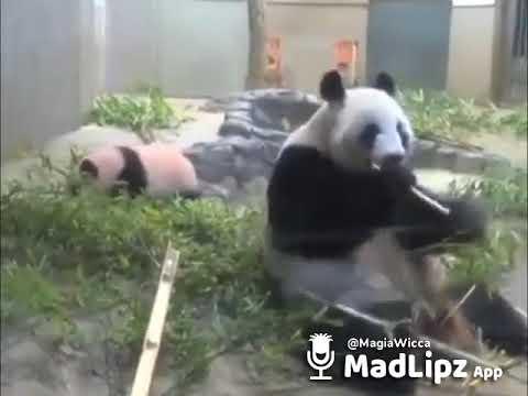 Bad Bunny - Tú No Metes Cabras (Versión Panda)