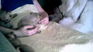 Pomchi- Pomeranian / Chihuahua Puppies Rescued