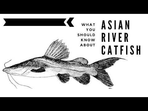 What You Should Know About The Asian River Catfish
