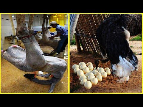 Amazing Ostrich Farm