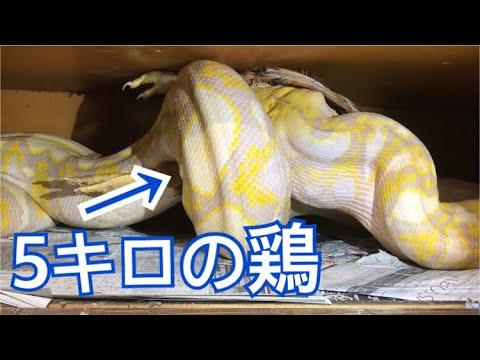 アミメニシキヘビにニワトリをあげたよ
