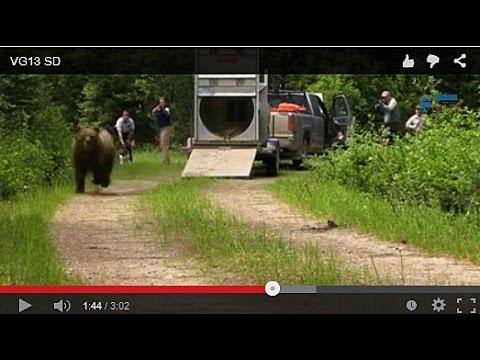 'Aversive Conditioning' Saves Bears