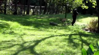 Weight Pull Dog Training (anatolian Sheperd)