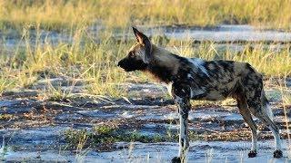 Wild Dogs Sneeze to Vote