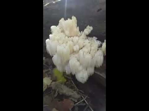 Hericium Americanum (Bear's Head Mushroom)[Southern Ontario]